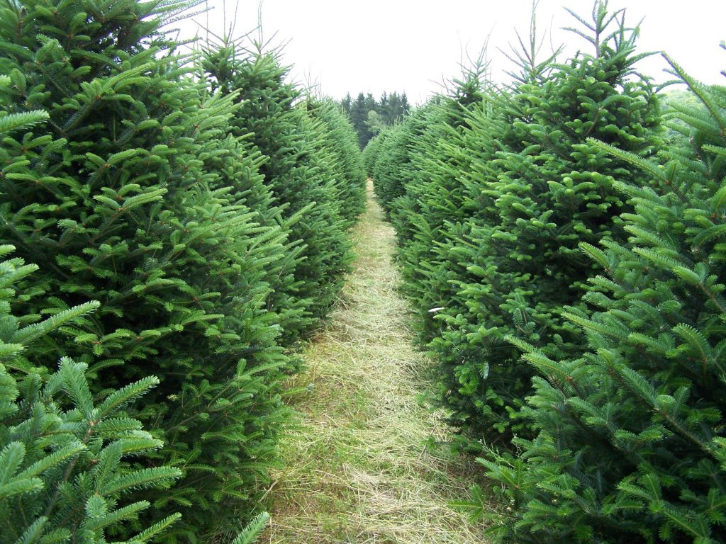 Looking For A Christmas Tree? Stop By Shoppers World
