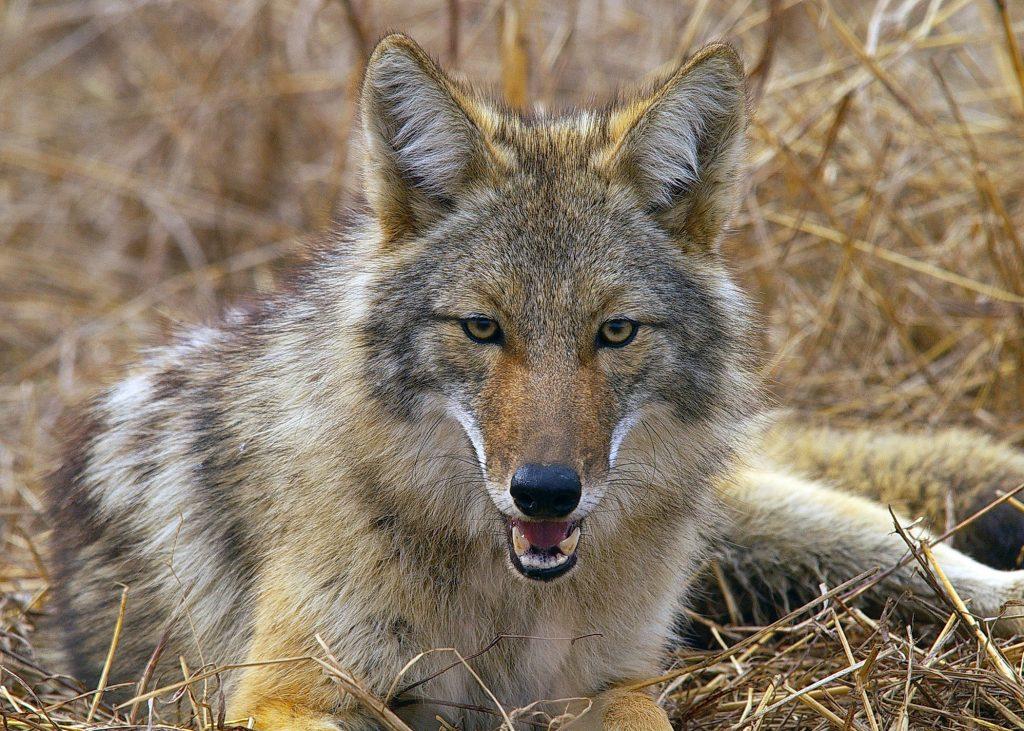 UPDATED Coyotes Spotted in Framingham Neighborhoods Framingham
