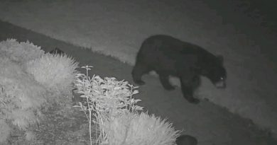 Bear Spotted in Framingham