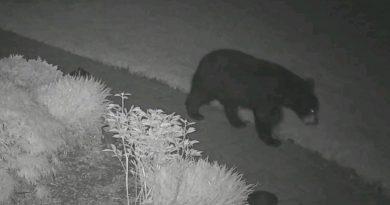 Bear Spotted in Framingham
