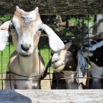 PHOTO OF THE DAY: Feed The Baby Goats at Eastleigh Farm